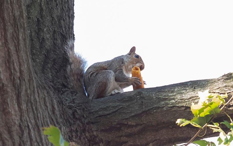 Temple University Squirrel Goes Viral
